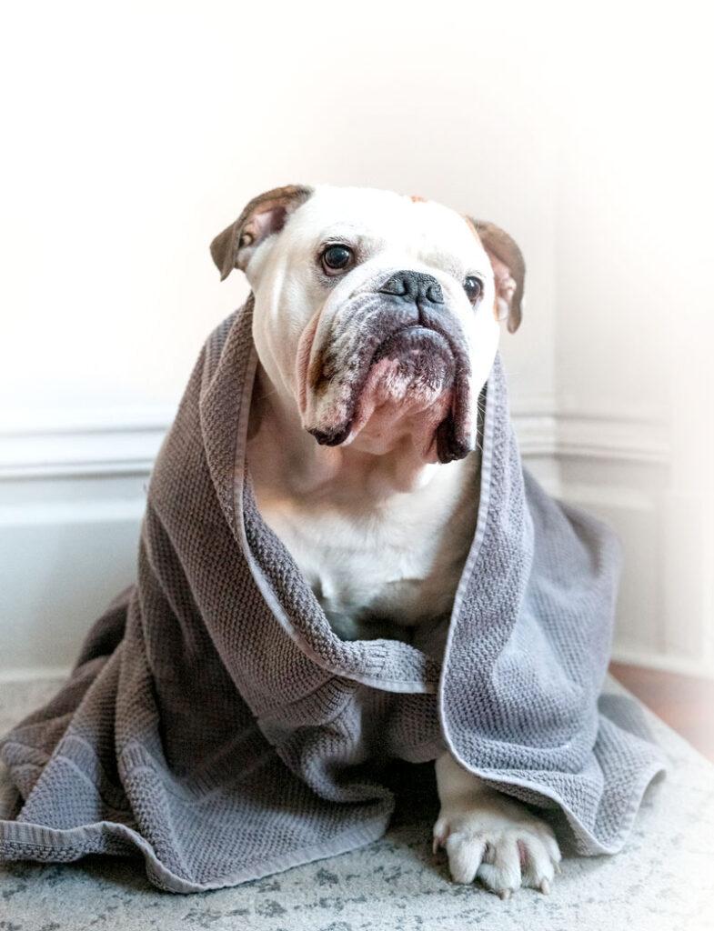 Bulldog in grey towel